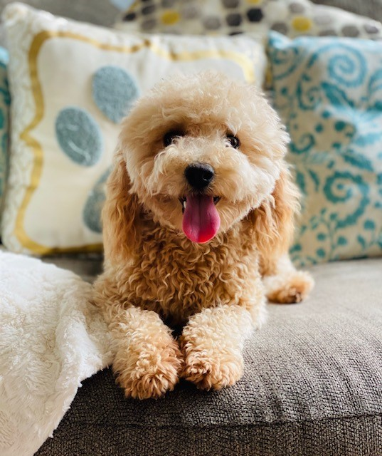 Southern Md In Home Breeder Of High Quality Doodle Breeds